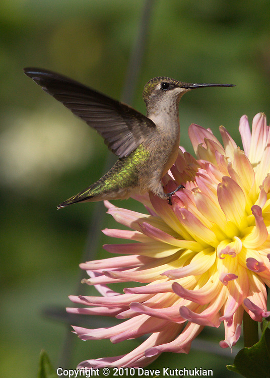 Female Humming Bird landing on A Dahlia, E. Dorset, VT