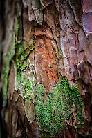 Stunning texture and colour on the trunk of the Rhododendron trees near Tadapani in the Nepal's beautiful Annapurna region.