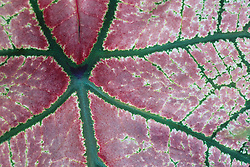 United States, Washington, Seattle, green veins in pink leaf of Caladium (Angel Wings) plant