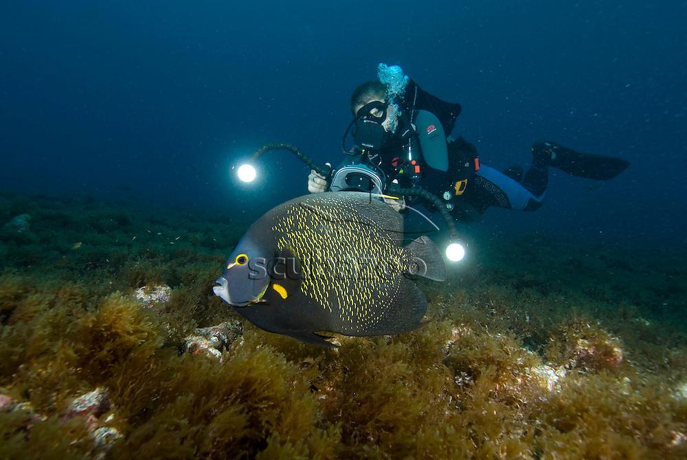 French Angelfish, Pomacanthus paru, being filmed, Fernando de Noronha, Brazilian Coast, Atlantic Ocean, Brazil.