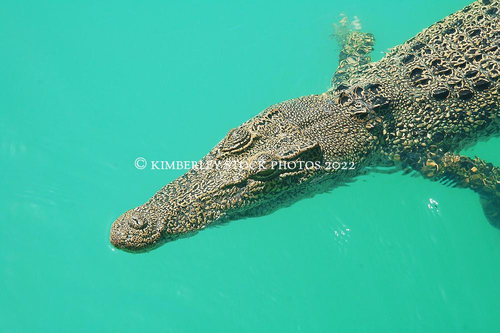 A saltwater crocodile (Crocodylus porosus) in Talbot Bay on the Kimberley coast.