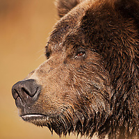 USA, Alaska, Katmai National Park, Close-up profile of adult male Coastal Brown Bear (Ursus arctos) fishing for spawning salmon along Kinak Bay