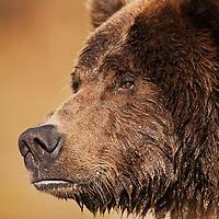 USA, Alaska, Katmai National Park, Close-up profile of adult male Coastal Brown Bear (Ursus arctos) fishing for spawning salmon along Kinak Bay