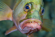 Hypoplectrodes coronatus (Eyebrow perch