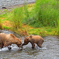 USA, Alaska, Katmai. A mother brown bear teaches cub survival and fishing at Brooks Falls, Katmai National Park.
