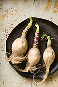 Gilfeather Turnips. Oliver Parini for Vermont Life. Food Photography by VT Photographer Oliver Parini.