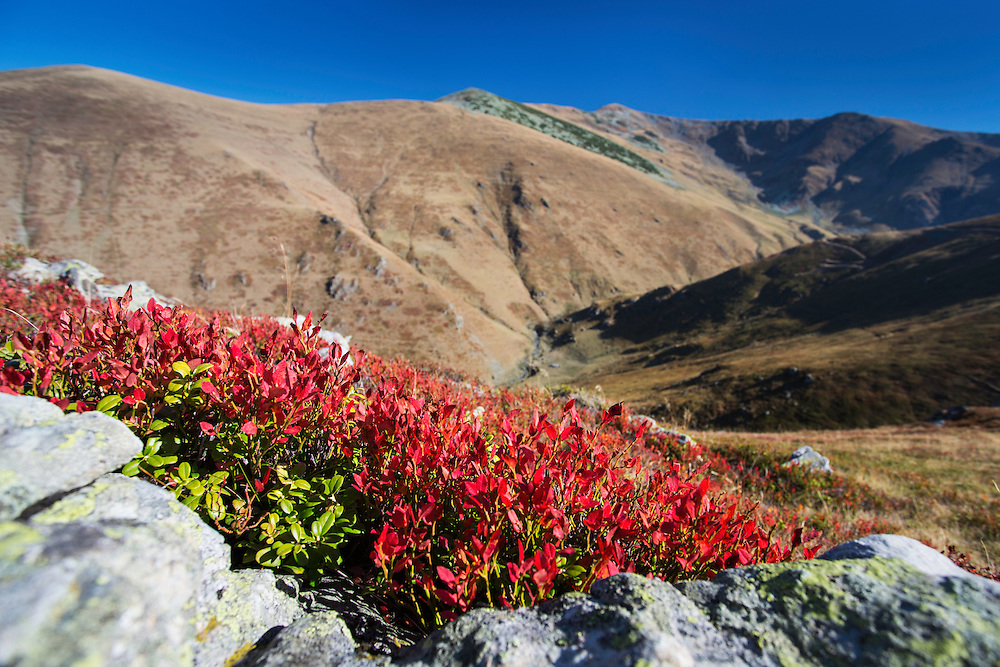 Blueberry (Vaccinium myrtillus) leaves in bright red autumn colours growing on a slope of the Tarcu Mountains Natura 2000 site facing the peak of Mount Tarcu (Vârful Țarcu: 2.291 m) to the far right. Southern Carpathians, Munții Ṭarcu, Caraș-Severin, Romania.