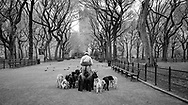 Dog walker on The Mall in Central Park