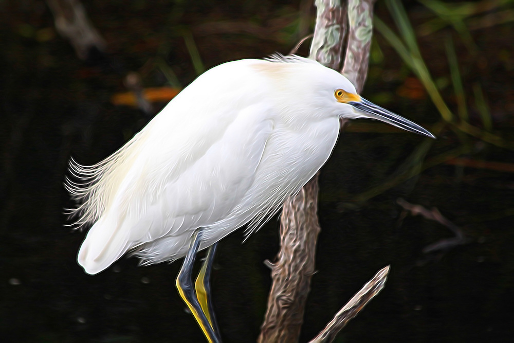 Snowy Egret at Everglades National Park