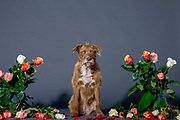 Studio shot of a sitting brown dog surrounded by flowers on the set with a black background