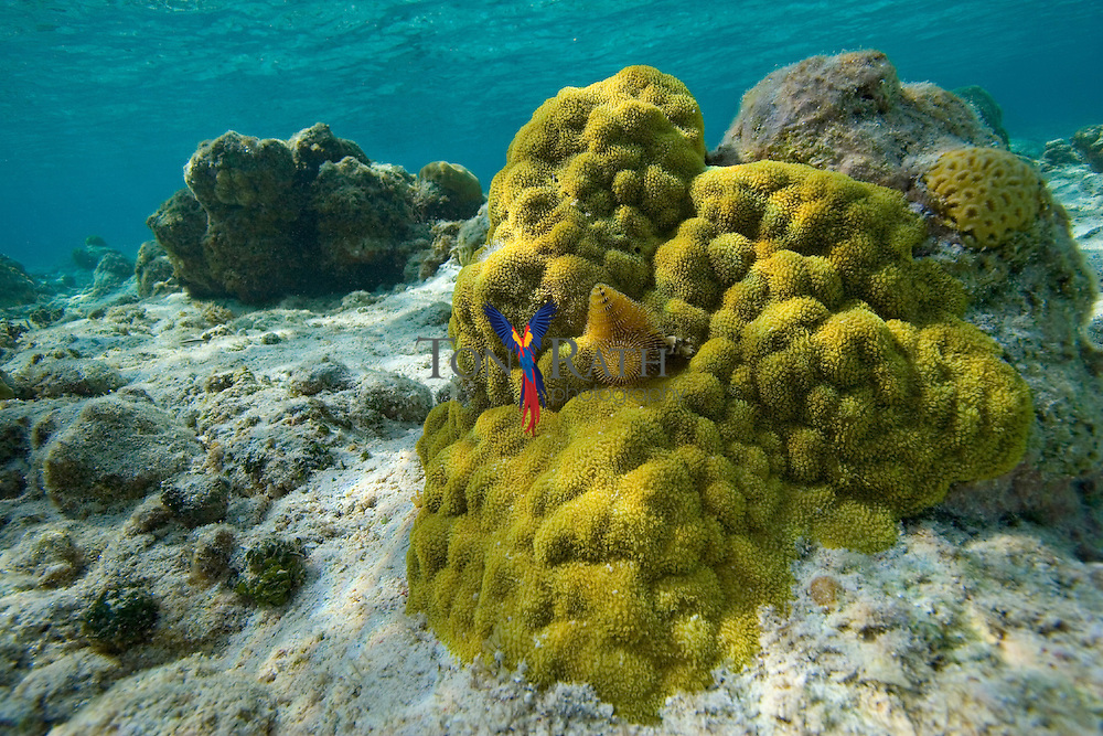Mustard Hill Coral (Porites astreoides), Carrie Bow Caye, Belize