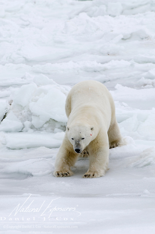 A polar bear delicately tests the thickness of the ice on Hudson Bay, Cape Churchill, Manitoba, Canada.