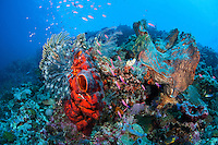Anthias feed amongst healthy sponges and crinoids<br /> <br /> Shot in Indonesia