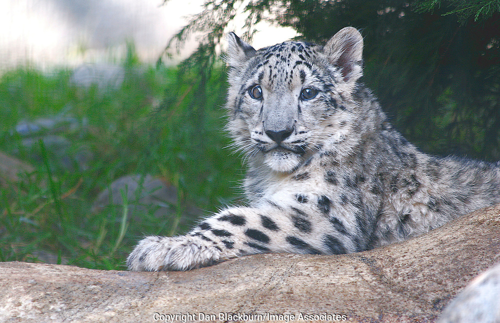 Young Snow Leopard resting on a rock at the edge of the forest.
