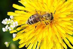 06.04.2016, Osijek, CRO, Frühlingserwachen bei Bienen, im Bild Bienen auf einerm Löwenzahn // Spring and warm weather awakened nature in Slavonia and Baranja, dandelion full of pollen attracted a large number of bees Osijek, Croatia on 2016/04/06. EXPA Pictures © 2016, PhotoCredit: EXPA/ Pixsell/ Davor Javorovic<br /> <br /> *****ATTENTION - for AUT, SLO, SUI, SWE, ITA, FRA only*****