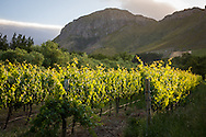 Vineyard in morning light, the Franschhoek Valley, South Africa.