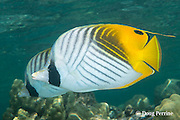 pair of threadfin butterflyfish or kikakapu, Chaetodon auriga, Kahaluu Beach Park, Keauhou, Kona Coast, Hawaii Island ( the Big Island ) Hawaiian Islands ( Central Pacific Ocean )
