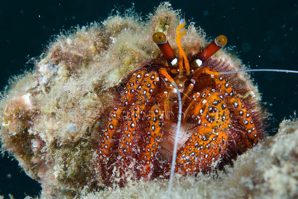 Hermit Crab, Dardanus megistos, Sapi Island, Tunku Abdul Rahman Park, TARP, Sabah, Borneo, Malaysia.