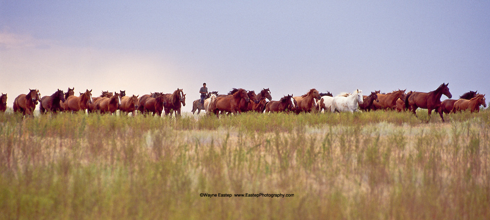 Kazakh Steppe horses have legendary endurance and serve many needs.  They are ridden, raced, and used in draft and are also a source of meat and the milk from which kumiss is made.  They can travel 200 kilometers (124 miles) a day with ease and survive tempratures as low as -40 degrees fahrenheit.  This herd is on the Steppes near Bakanas outside Almaty, Kazakhstan