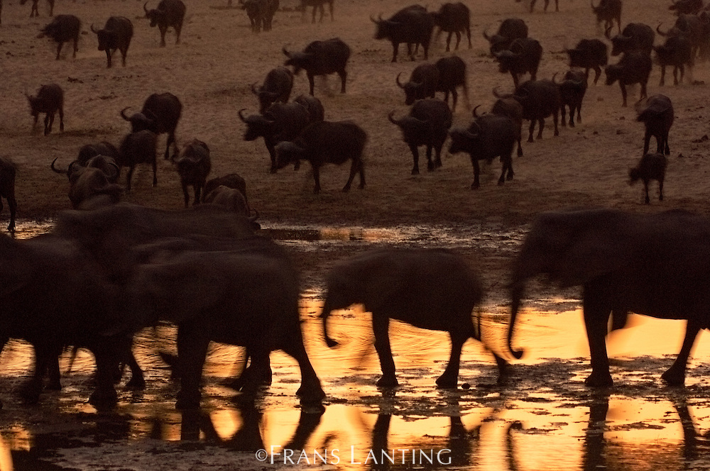 Elephants, Loxondonta africana, and Cape buffaloes, Syncerus caffer, at twilight, Luangwa River, Zambia