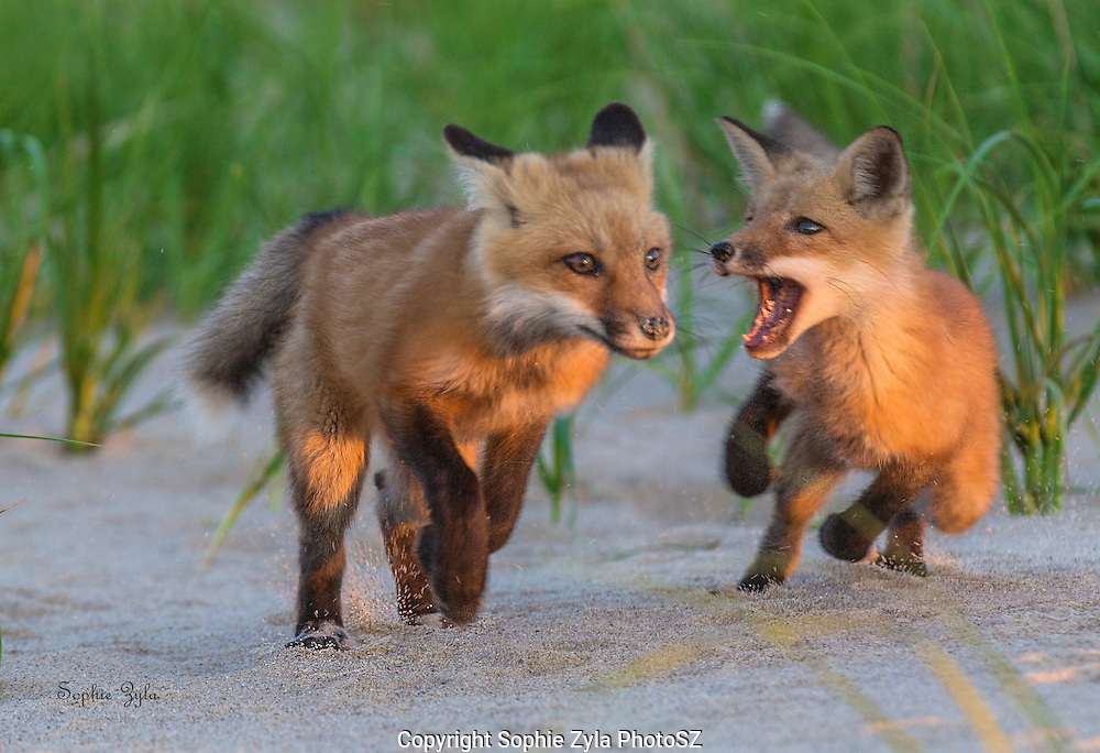 Red Fox Chase