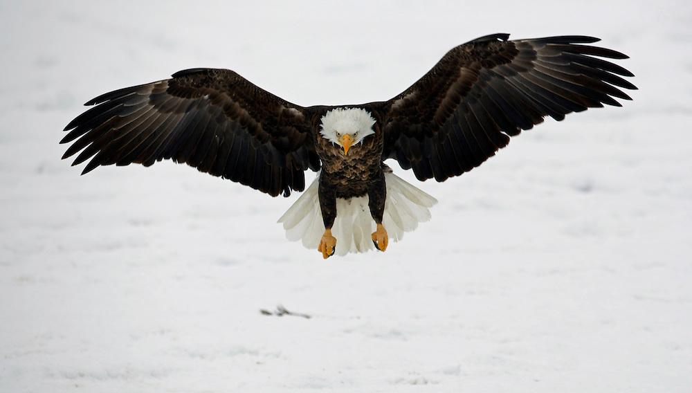 Bald Eagle, Farmington Bay Utah