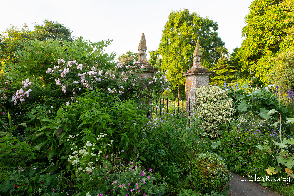 Rosa 'Blush Noisette' and herbaceous borders around a gate at Lower Severalls Farmhouse,  Crewkerne, Somerset, UK