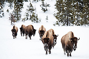 American bison (Bison bison) herd walking along the road during winter in Yellowstone National Park