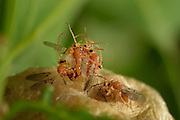 Männliche Schwammgallwespen (Biorhiza pallida) suchen die Galle nach gerade schlüpfenden Weibchen ab, um diese gleich zu begatten. Hier haben mehrere Männchen ein Weibchen umringt und jeder versucht bei der Begattung der erste zu sein. |Gall wasp (Biorhiza pallida)