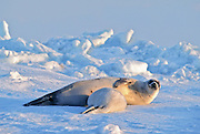 Harp seal pup nursing