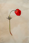 Hand drawn and painted botanic study of Crown Anemone (Anemone coronaria) Israeli wildflower
