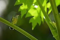 Black Sunbird (Nectarinia aspasia) female.