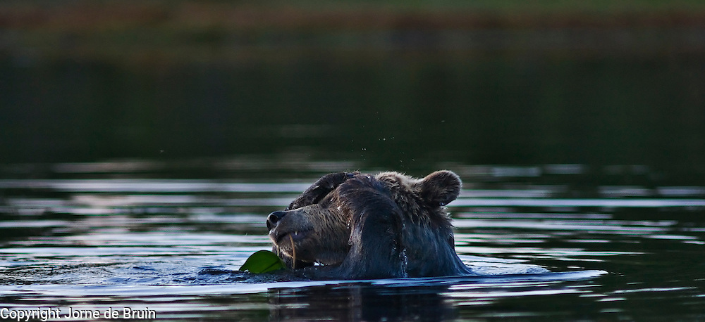 An Eurasian Brown Bear is swimming in a lake washing himself and eating a waterlilly in the forest in Finland.