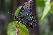 Limenitis arthemis arizonensis - Arizona Red-spotted Purple
