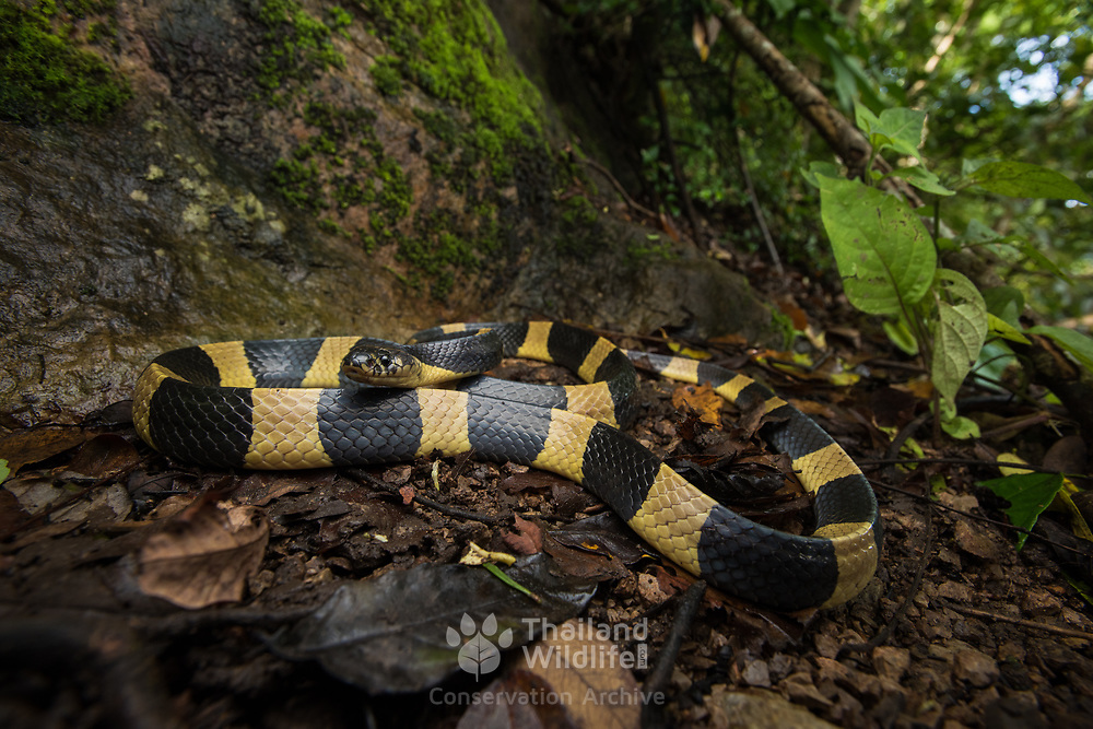 Banded Krait (Bungarus fasciatus) in Kra Buri district, Thailand