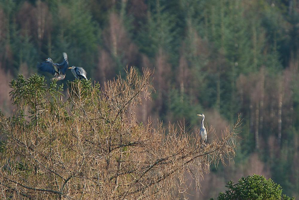 Three Herons in a Tree