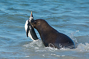 A South American sea lion attacks and captures a Gentoo penguin off the coast of New Island, Falklands.