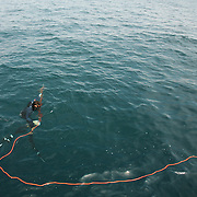 Bruce Mock straightens his buoy-line into the waters of the Gulf Stream  while spearfishing of the coast of NC. The line is attached to a small buoy. In case the diver cannot pull the fish up in one breath, he can follow the buoy from above. The buoy also creates drag, tiring the fish out quicker.