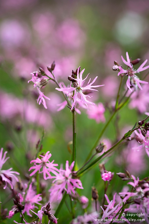 Ragged robin (Lychnis flos-cuculi) in the wildflower meadow