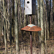 Wood Duck, Aix sponsa, nesting box