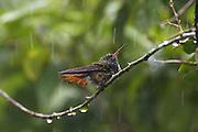 Rufous-tailed Hummingbird <br /> Amazilia tzacatl<br /> In rain<br /> Northern Costa Rica, Central America