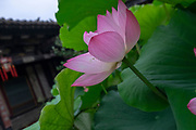 blossoming pink Sacred Lotus flower (Nelumbo nucifera) Photographed at Zhu Family house, Jianshui Ancient Town, Yunnan Province, China in September