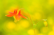 Double exposure (Orton Effect)  closeup of Western Columbine (Aquilegia formosa) in Arctic Valley in Southcentral Alaska. Summer. Morning.