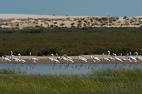 Greater Flamingos (Phoenicopterus ruber)<br /> about 25,000-30,000 flamingos over winter in Do&ntilde;ana but very few breed there as the wetlands dry up before the chicks are completely grown.<br /> Lagoon &amp; Dunes<br /> Do&ntilde;ana National &amp; Natural Park. Huelva Province, Andalusia. SPAIN<br /> 1969 - Set up as a National Park<br /> 1981 - Biosphere Reserve<br /> 1982 - Wetland of International Importance, Ramsar<br /> 1985 - Special Protection Area for Birds<br /> 1994 - World Heritage Site, UNESCO.<br /> The marshlands in particular are a very important area for the migration, breeding and wintering of European and African birds. It is also an area of old cultures, traditions and human uses - most of which are still in existance.