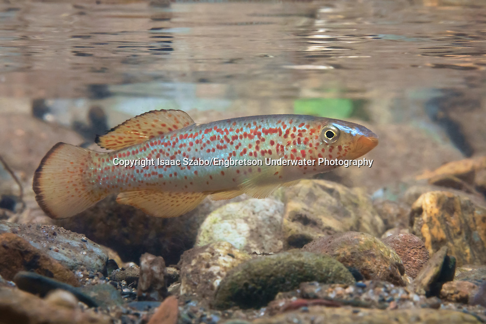 Southern Studfish<br /> <br /> Isaac Szabo/Engbretson Underwater Photography