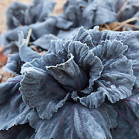 Purple cabbage leaves covered with frost.