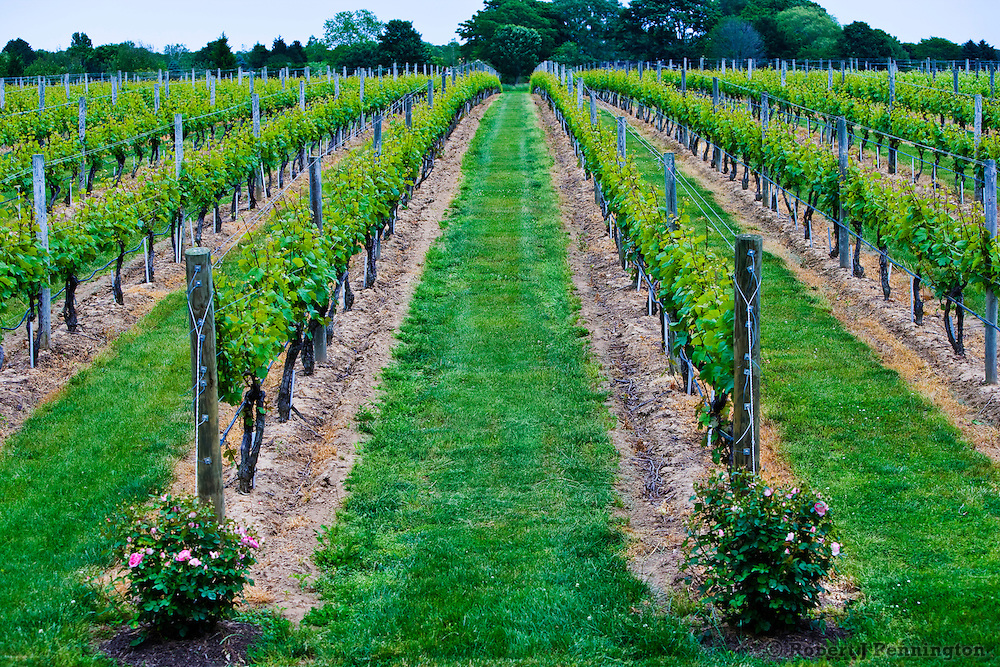 Alternating rows of vines and green grass in a New York State Vineyard in early summer.