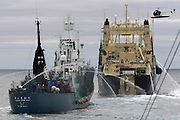 A freshly caught minke whale is drawn up the slipway of Japanese factory ship, the Nisshin Maru, right, after transferring from harpoon ship, the Yushin Maru No. 2, left. Sea Shepherd's helicopter filmed from overhead as whaling crew cut and processed the entire whale in less than 30 minutes, packaging meat for shipment back to Japan. A loophole in an international ban on whaling allows some whales to be caught for 'scientific research', but also says the meat cannot be wasted and must be sold. (Photo by Adam Lau)