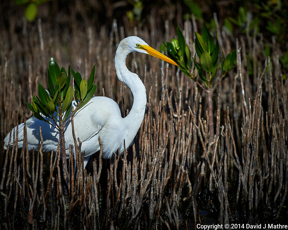 Great Egret. Blackpoint Wildlife Drive, Merritt Island National Wildlife Refuge. Image taken with a Nikon D4 camera and 500 mm f/4 VR lens (ISO 200, 500 mm, f/5.6, 1/4000 sec).