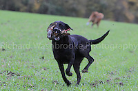 Copt Hall Farm Shoot  20th November 2013<br /> <br /> Richard Washbrooke PhotographyCopt Hall Farm Shoot  20th November 2013<br /> <br /> Richard Washbrooke Photography